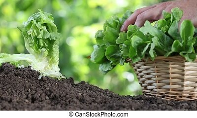 Hands picking lettuce with basket, plant in vegetable garden, close up
