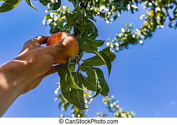 hands picking peach fruits, orchard tree