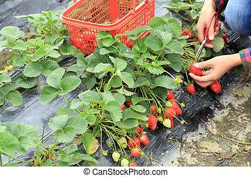 hands picking strawberry in garden