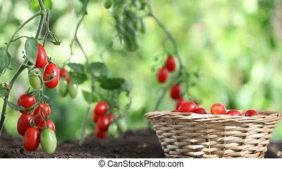 Hands picking tomatoes from plant to vegetable garden, with wicker basket
