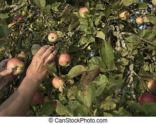 Hands Picking Up Apples