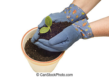 Hands Planting Young Sprout