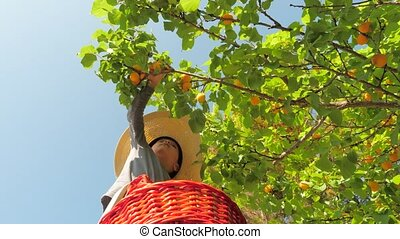 hands pluck apricots from wood boy hands plucks ripe ...