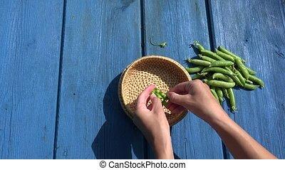 hands pod shell husk green pease in wicker dish on blue wooden table. 4K