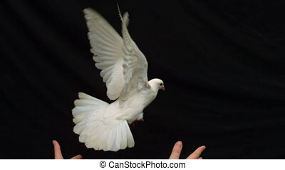 Hands releasing a white dove of peace on black background in slow motion