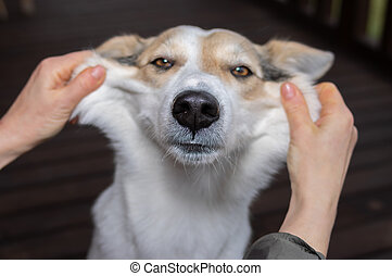 Hands showing cheeks of funny white mixed breed dog