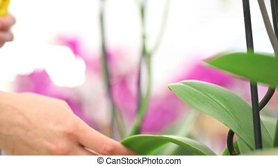 hands spraying on leaves, take care of the flowers plants