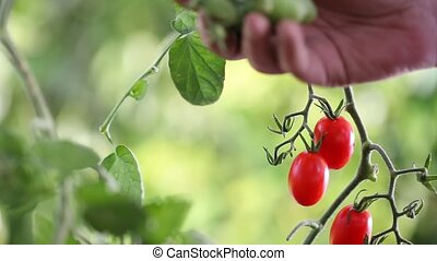 Hands touches plants of cherry tomatoes control quality and...