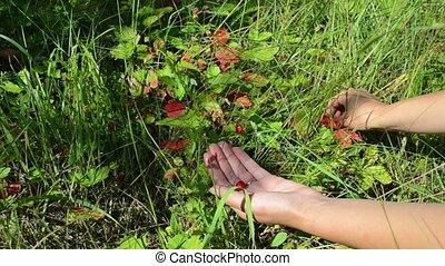 hands wild strawberry