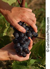 hands with black grape