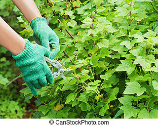Hands with green garden pruner in the garden.