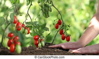 Hands work The soil of cherry tomatoes cure the vegetable...
