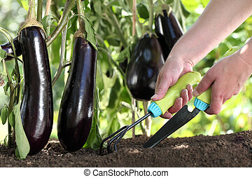 hands works the soil with tools, eggplants plants in vegetable garden close up