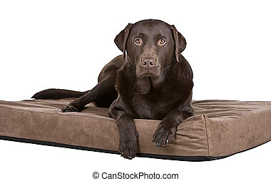 Handsome Chocolate Labrador on His Memory Foam Bed. Comfy! -...