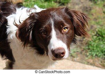 handsome liver and white collie cross springer spaniel pet dog