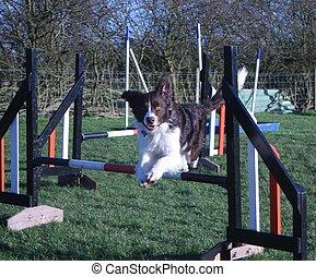 handsome springer collie cross pet dog jumping an agility jump