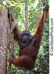 Hanging alpha male orangutan, Tanjung Puting National Park.