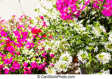 Hanging basket - Flowering hanging baskets with white and...