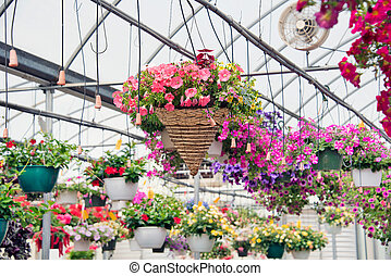 hanging baskets in greenhouse