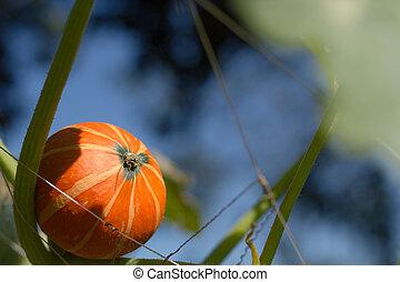 Hanging beautiful large pumpkin on the field.