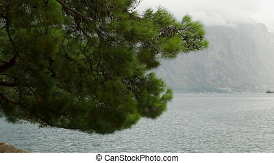 hanging branches of a great spruce on the background of sea...