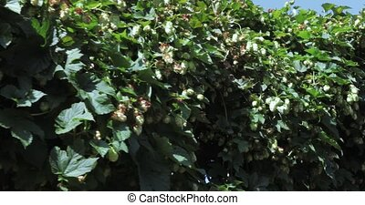 Hanging branches of hops - Horizontal wall overgrown with...