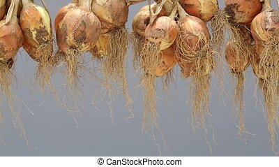 hanging bunch of onion - hanging bunch bundle of onion, gray...