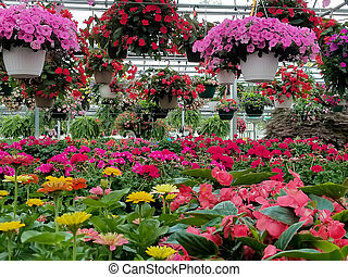 hanging flower baskets in greenhouse - colorful flower...