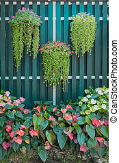 hanging flower pot and flamingo flower spadix shrubs with wooden green fence background. Beautiful bright green and red color tone concept of home ornamental garden decoration idea.