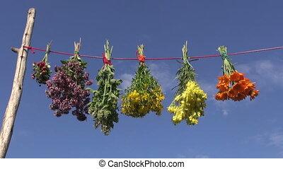 hanging fresh medical herb bunch - hanging various fresh...