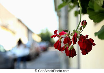 Hanging geraniums on the street