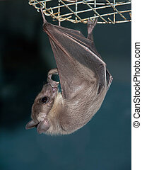 night bat - hanging night bat
