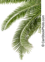 Hanging palm leaves isolated on the white background