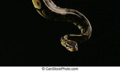 Hanging royal ball python - Footage of royal ball python on...