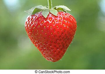 strawberry - Hanging strawberry