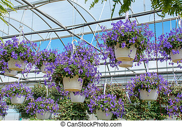 hanging streptocarpella baskets in greenhouse