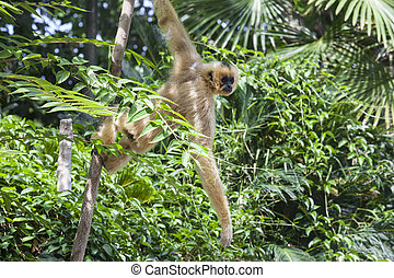 Hanging yellow cheeked gibbon