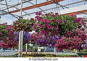Haning Flower Baskets in Greenhouse