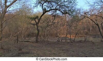Hanuman langur (Semnopithecus entellus) sitting in a tree,...