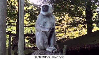 Hanuman langur (Semnopithecus entellus) - Hanuman langur...
