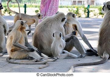 Hanuman Langurs in India