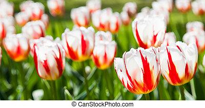 Happu Generation tulip - Villa Taranto - Italy. Famous...