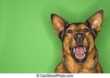 Happy and alert brown dog. - Mixed breed brown dog smiling.