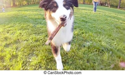 Australian shepherd puppy - Happy Aussie dog runs on meadow...