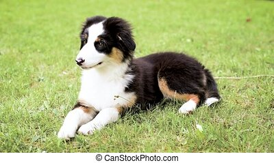 Australian shepherd puppy - Happy Aussie on meadow with...