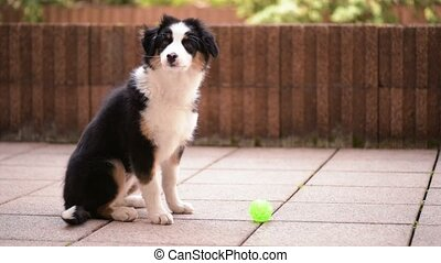 Australian shepherd puppy - Happy Aussie with small green...