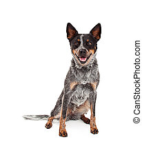 A hapy Australian Cattle Dog sitting while looking forward into the camera.