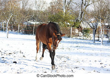 Happy bay horse running in the snow
