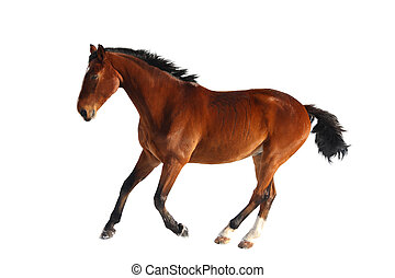 Happy bay horse running isolated on white