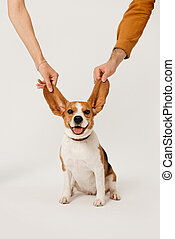 happy beagle dog posing with ears in the air on white background